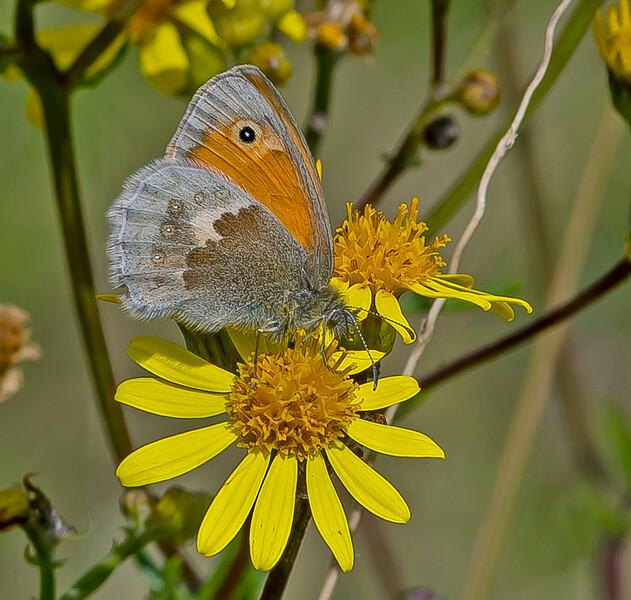 Coenonympha pamphilus, Small Heath,