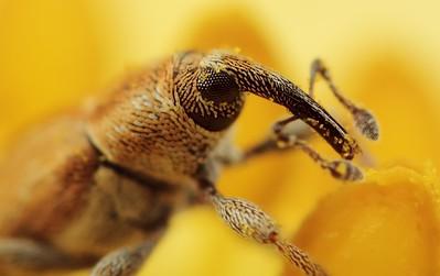 Juvenile Snout beetle