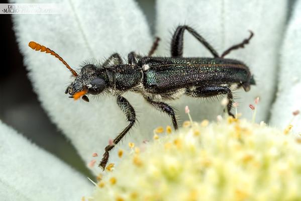 Fuzzy Checkered Beetle