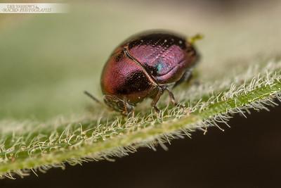 Tiny Metallic Beetle