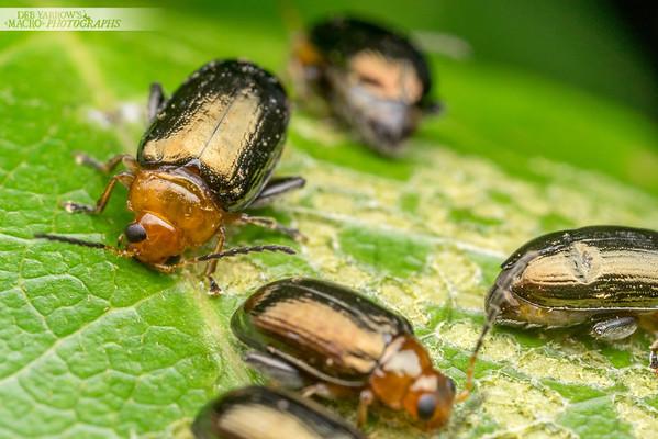 Flea Beetle Feeding