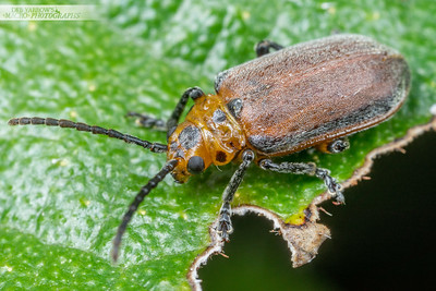 Fig Leaf Beetle