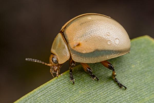 Pale Leaf Beetle