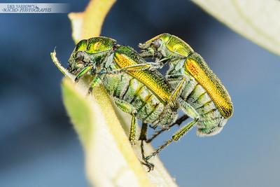 Metallic Scarab Beetles