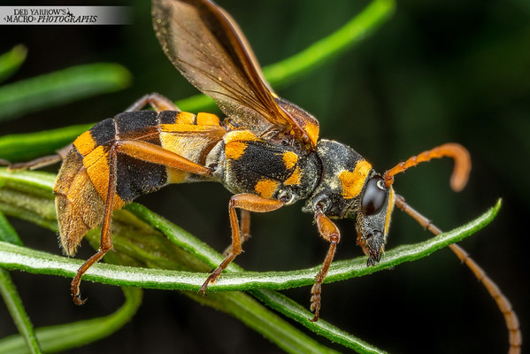 Wasp Mimic Beetle
