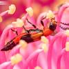 Gumnut Pollen Beetle