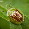 Beautiful green and brown leaf beetle has been gilded like a work of art.