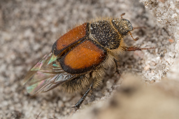 Orange Hairy Beetle
