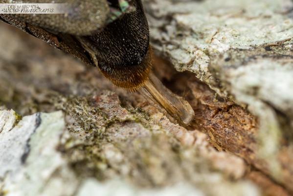 Egg Laying Jewel Beetle V