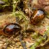 Pintail Beetles