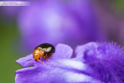 Redheaded Flea Beetle