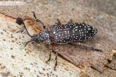 Fether Horned Beetle