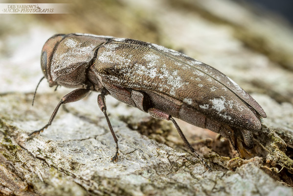 Egg Laying Jewel Beetle VIII