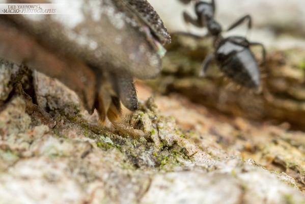 Egg Laying Jewel Beetle III