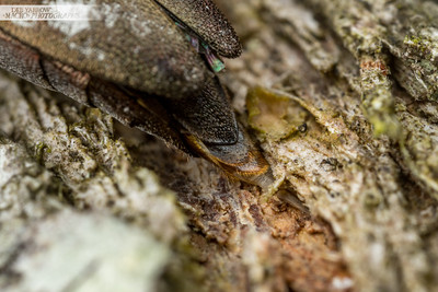 Egg Laying Jewel Beetle IV