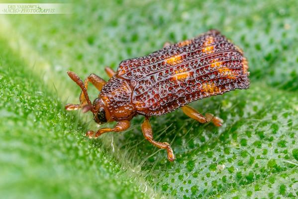 Lantana Leafminer Beetle