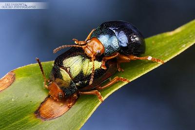 Metallic Coloured Acacia Beetles
