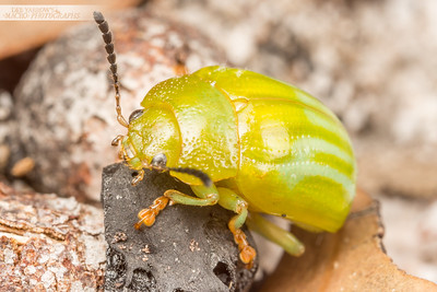Green Stripe Leaf Beetle