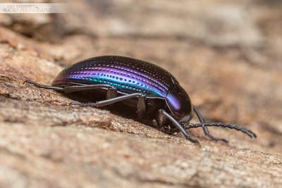 Chalcopterus Beetle