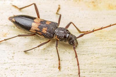 Eucalypt Longhorn Beetle