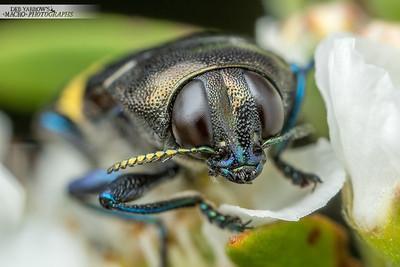 Jewel Beetle Face
