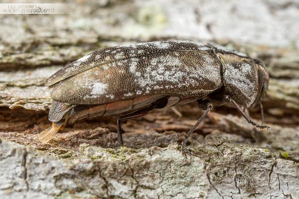 Egg Laying Jewel Beetle I