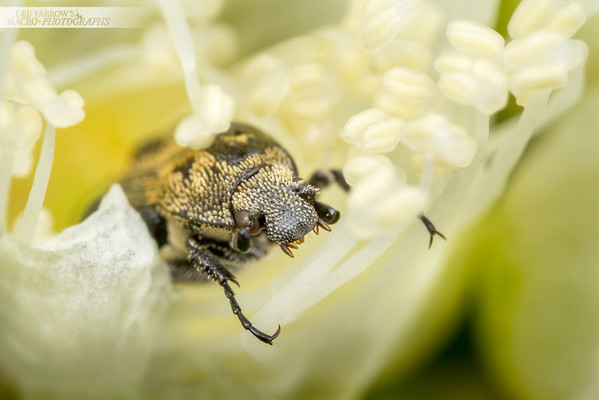 Lemon Myrtle Flower Chafer