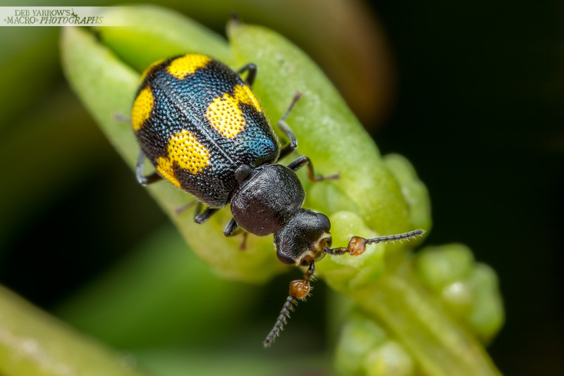 Yellow-spotted Beetle
