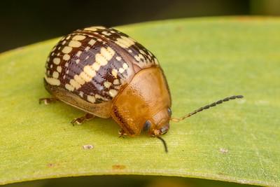 Brown Leaf Beetle
