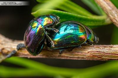 Rainbow Leaf Beetles