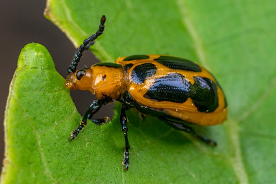 Orange & Black Leaf Beetle Eating