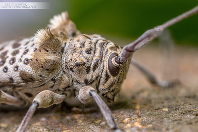 Tufted Longhorn