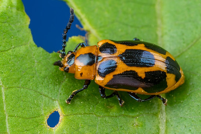 Orange & Black Leaf Beetle