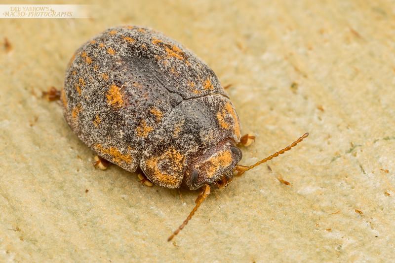 Fuzzy Tortoise Beetle