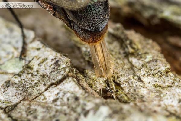 Egg Laying Jewel Beetle VII