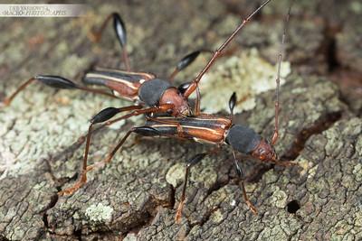 Decora Longhorn Beetle