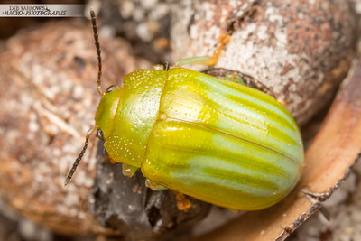 Green Stripe Leaf Beetle Leaf Beetle