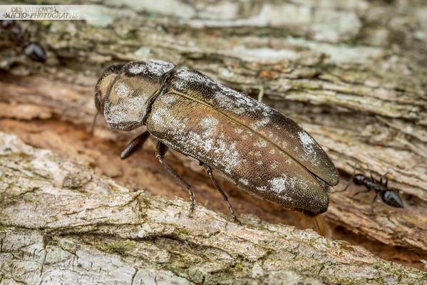 Egg Laying Jewel Beetle II