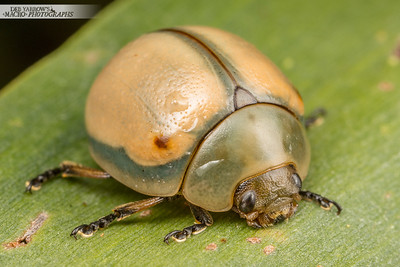 White Acacia Leaf Beetle