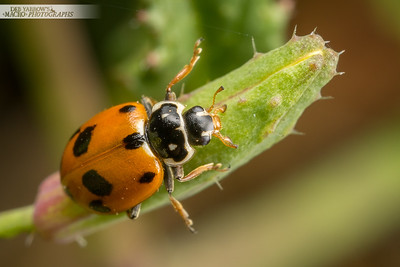 White Collared Ladybird