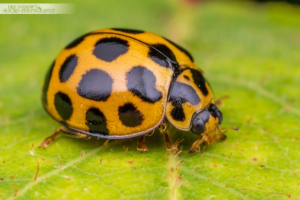 Spotted Ladybird
