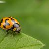 Transverse Ladybeetle