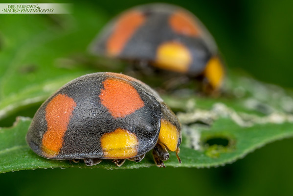 Leaf-eating Ladybirds