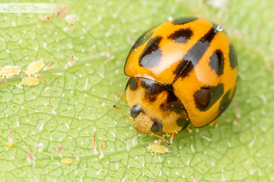 Ladybird on Gum Leaf