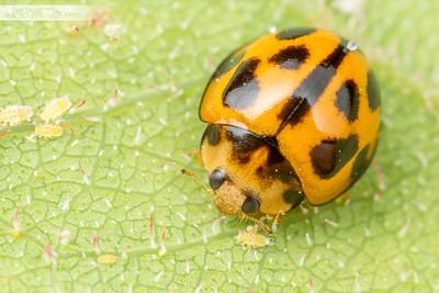 Ladybird on Gum Leaf