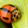Variable Ladybird