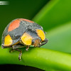 Large Leafeating Ladybird