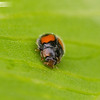 Two-spot Ladybird