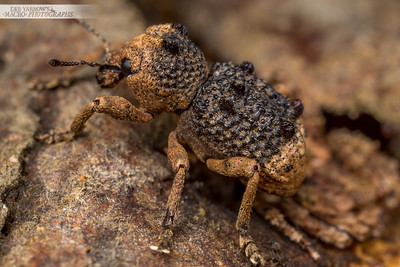 Tufted Weevil
