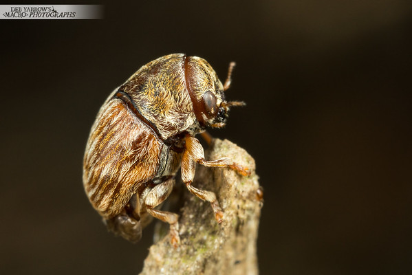Tiny Weevil